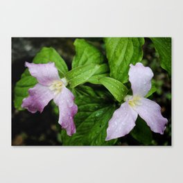 Pink Trillium in Early Spring, Fine Art Print, Botanical Art, Pink Flowers Canvas Print