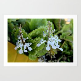 Two dollar flowers on my balcony Art Print