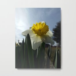 Proud Daffodil Metal Print