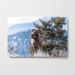 Ram male bighorn sheep standing on the edge of a cliff with frosty winter grasses. Metal Print