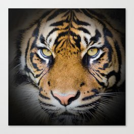 Tiger in the shadow Canvas Print
