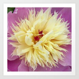 peony bloom macro XXV Art Print