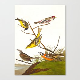 Arkansaw Siskin Bird Canvas Print