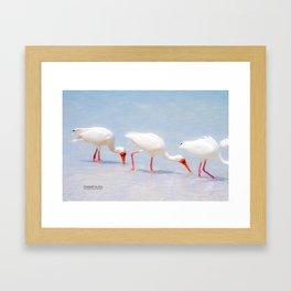 White Ibis Feeding #3 Framed Art Print