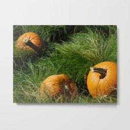 Pumpkins in grass Metal Print