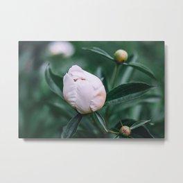 Delicate white peony bud Metal Print