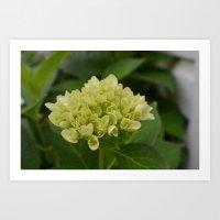 light green hydrangea Art Print