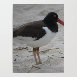 Oyster Catcher at Cape May Poster