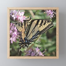 Western Tiger Swallowtail on Lemon Blossoms Framed Mini Art Print