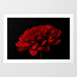 Red Chrysanthemum On Black Art Print