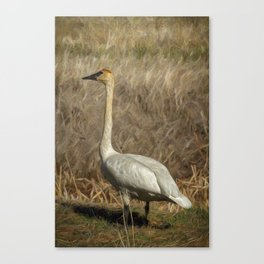 The Trumpeter Swan Canvas Print