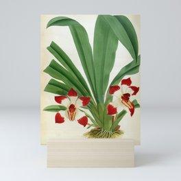 Pescatorea Klabochurum Lindenia Orchid Mini Art Print