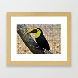 Swainson's Toucan Framed Art Print