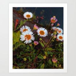 Canal Daisy Art Print