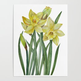 Watercolor Daffodils Botanical Illustration Poster
