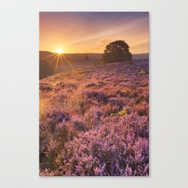 Blooming heather at sunrise at the Posbank, The Netherlands Canvas Print