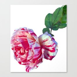 red whtie rose flower photograph take 2 Canvas Print