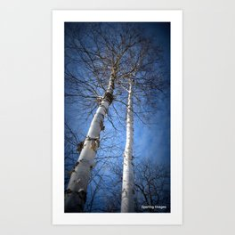 Reaching for Spring - Birches Art Print