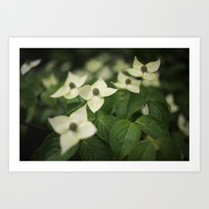 White Kousa Dogwood Flowers Growing on a Tree in Spring Art Print