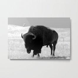 Bison On Open Range Metal Print