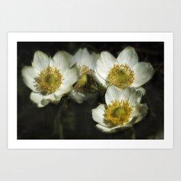 Pasque Flowers Art Print
