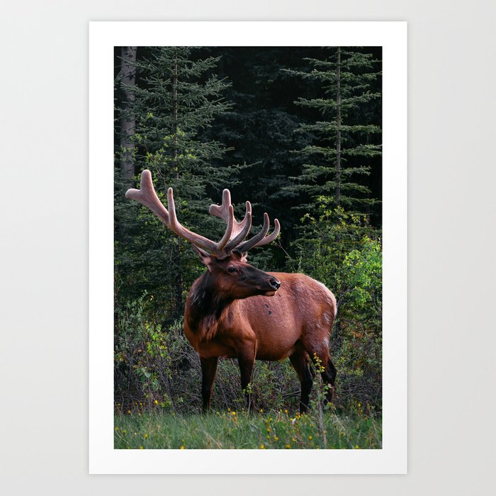 Elk in Canada Art Print