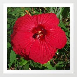 Hibiscus 'Fireball' - regal red star of my late summer garden Art Print