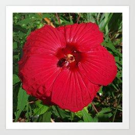 Hibiscus 'Fireball' - regal red star of my late summer garden Art Print