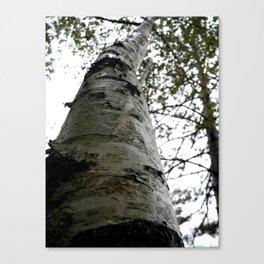 Up the Birch tree Canvas Print