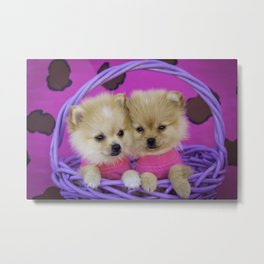 Two Pomeranian Puppies Wearing Hot Pink Shirts in Front of a Pink Leopard Print Background Metal Print