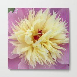 peony bloom macro XXV Metal Print