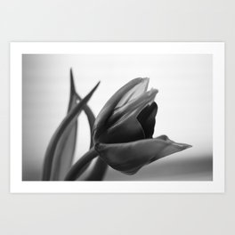 Tulip Blooming In Black And White Art Print