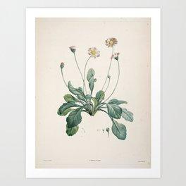 Daisy Flower Botanical Illustration Art Print