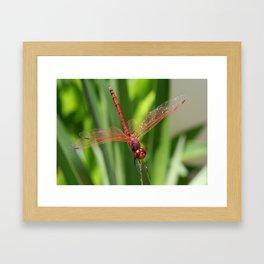 Red Skimmer or Firecracker Dragonfly Closeup Framed Art Print