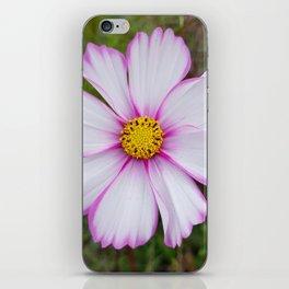 Winter Cosmos Flower in Pink 7 iPhone Skin