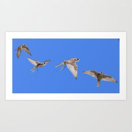 Falconry Composite, Bird of Prey Art Print