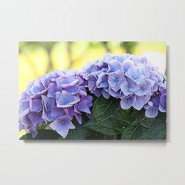 Purple hydrangea(1) Metal Print