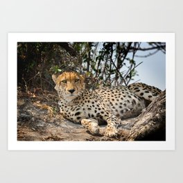 Alert Cheetah Art Print