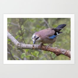 Wild colourful Jay bird Art Print