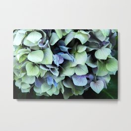 green and blue hydrangea Metal Print