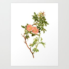 """Rosa Fendleri by Alfred Parsons (part of """"The Genus Rosa,"""" published in 1914) Art Print"""