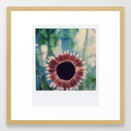 Sunflower in bloom Framed Art Print