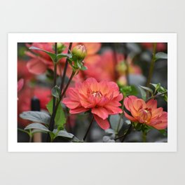 Salmon Colored Dahlias Art Print