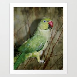 Indian Ringneck Parrot - Cherokee Art Print