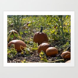 Pumpkins in the patch Art Print