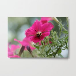 Clearwing Hummingbird Moth at Work in a Patch of Petunias (Photography: Critters and Creatures) Metal Print