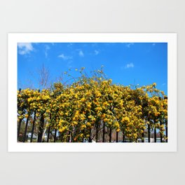 Cat's Claw Vine Over Fence Art Print