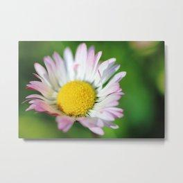 Common daisy slightly closed Metal Print