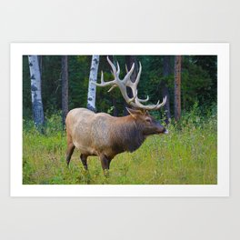 Bull Elk shows off his rack in Jasper National Park Art Print