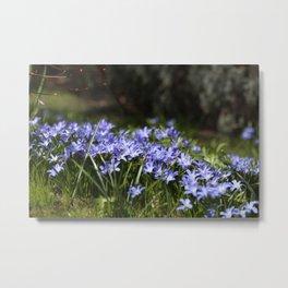 Blue Scilla Metal Print